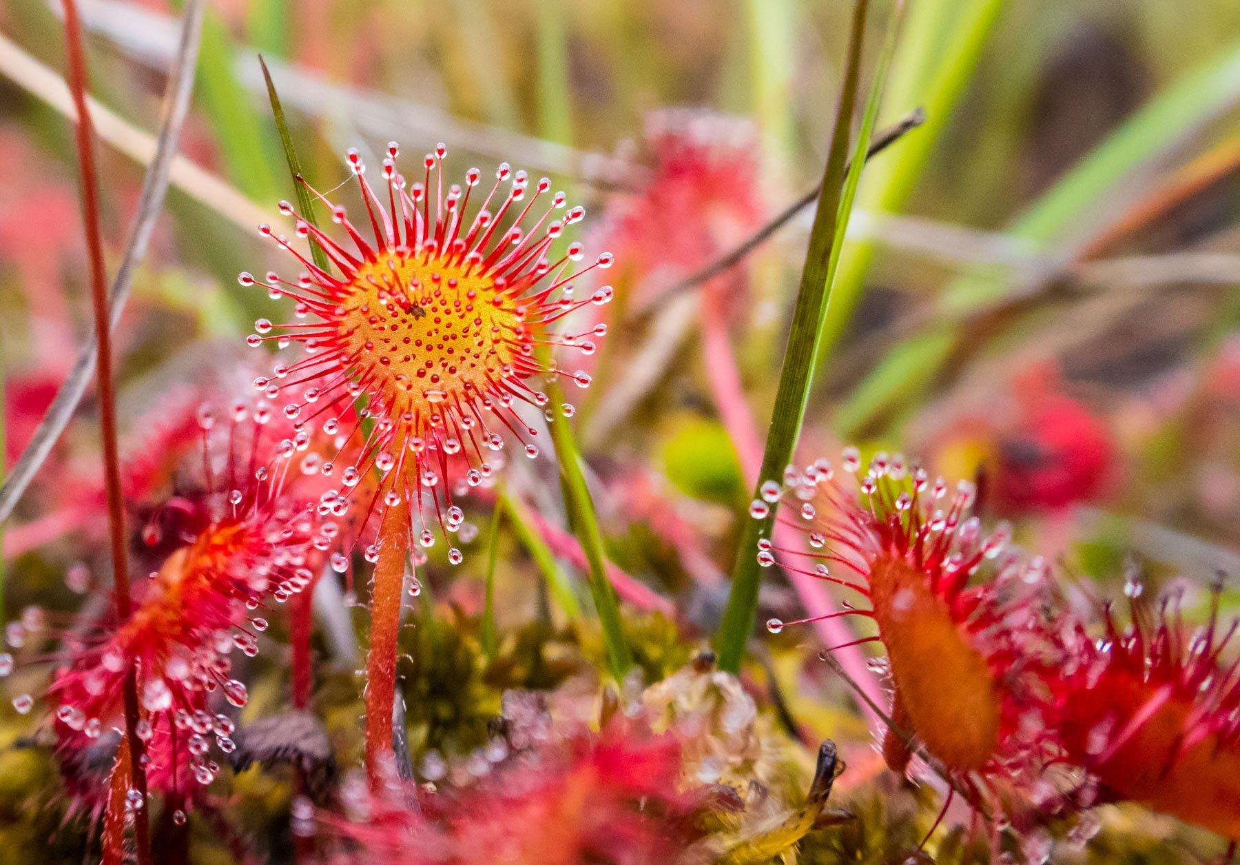 Drosera rotundifolia© Natural EnglandAllan Drewitt.jpg