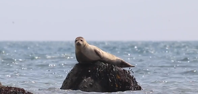 Seal-North Sea Wildlife Trusts.png
