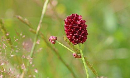 Wildlife Trust Worcestershire-Great burnet CREDIT Wendy Carter 6609.jpg