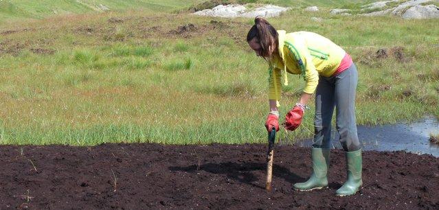 Cotton grass plug planting on bare peat, Borrowdale Moss, Cumbria Wildlife Trust